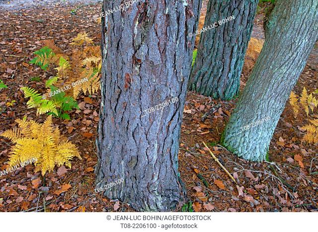 france,yvelines,chevreuse valley : rambouillet forest, ferns, autumn leaves and pine tree