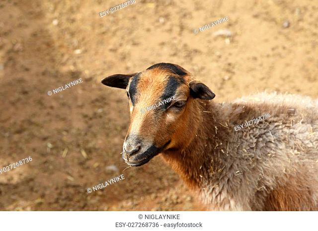 Close up detailed view of sheep living in a zoo