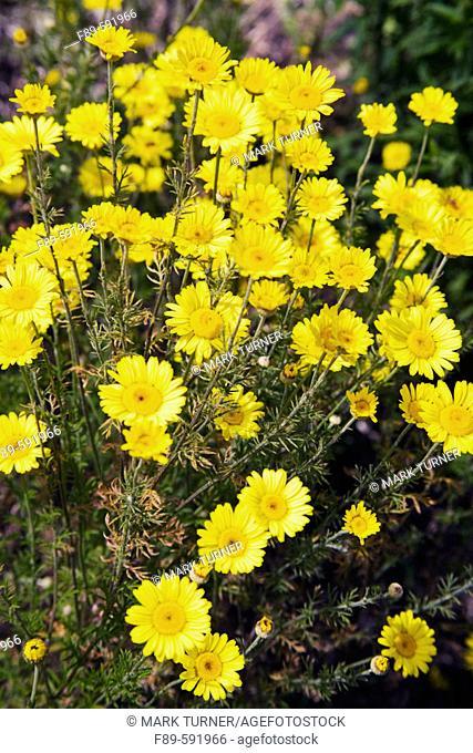 Golden Marguerite (Anthemis tinctoria). UW Medicinal Herb Garden, Seattle. Washington. USA