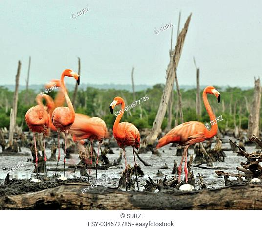 Colony of American flamingo or Caribbean flamingos (Phoenicopterus ruber ruber). The largest colony of the Caribbean flamingo