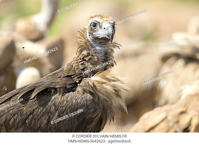 Spain, Catalonia, Lerida Province, Boumort, Cinereous vulture or Black Vulture (Aegypius monachus), at the feeding station in the reserve