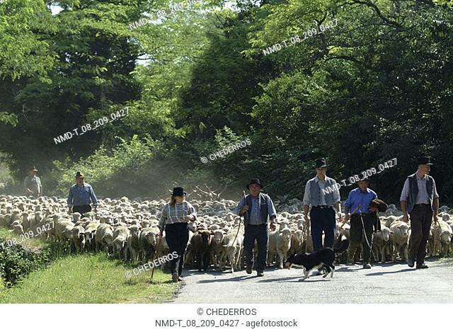 Group of shepherds walking with sheep on the road, Provence, France