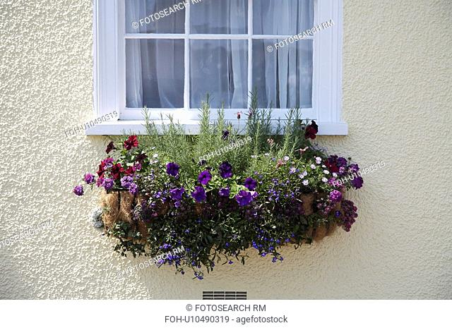 Close-up of window box on cottage wall with rosemary and purple petunias and verbena
