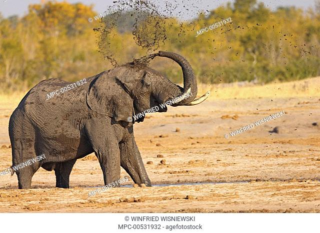 African Elephant (Loxodonta africana) taking a mudbath at a watering hole, Hwange National Park, Zimbabwe