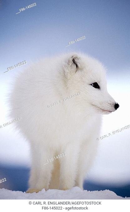 Arctic Fox in winter snow (controlled / captive animal), Alopex lagopus, Vermont, USA