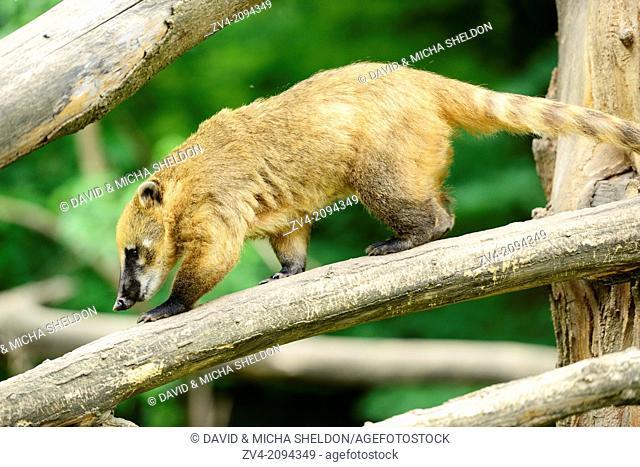 South American coati or ring-tailed coati (Nasua nasua) walking on a bough in Zoo Augsburg, Germany