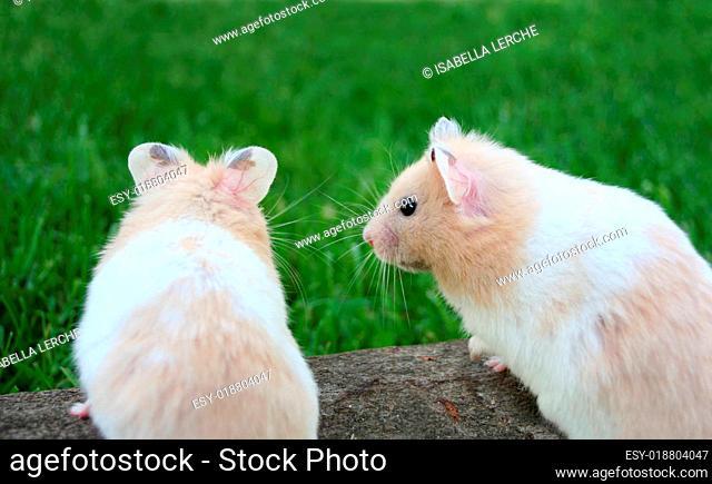 Verliebte Hamster