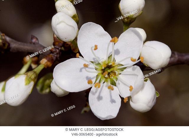 Open cherry blossom