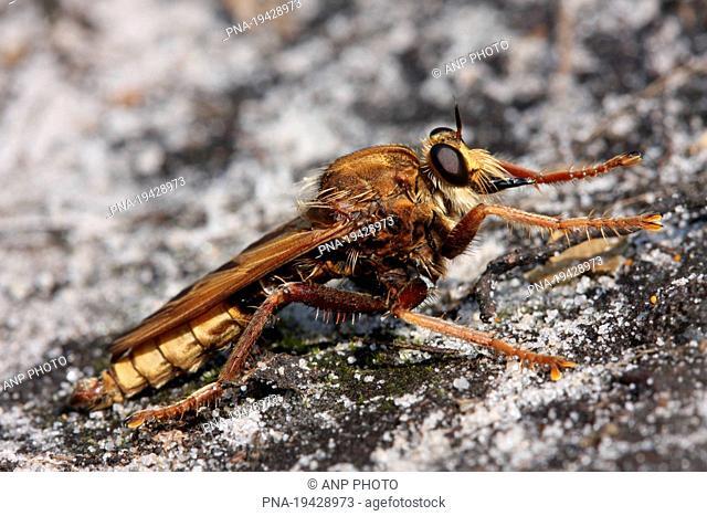 golden-tabbed robberfly Eutolmus rufibarbis - Hellendoorn, Salland, Overijssel, The Netherlands, Holland, Europe