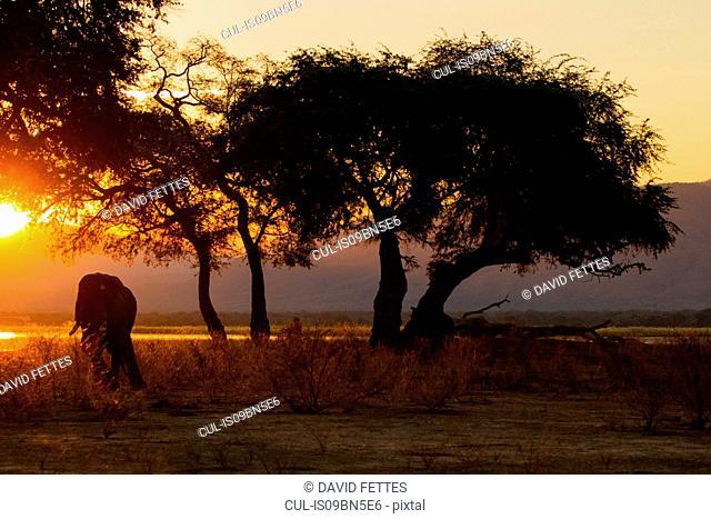 Elephant (Loxodonta Africana), Zambezi River, Zimbabwe