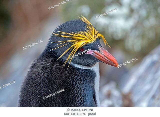Macaroni Penguin (Eudyptes chrysolophus) close-up, Falkland Islands
