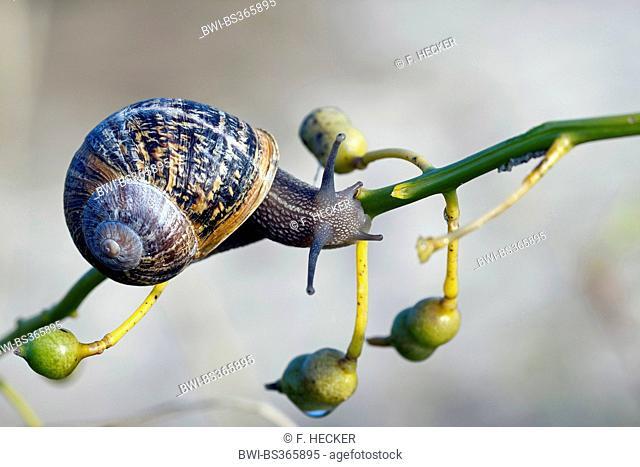 brown garden snail, brown gardensnail, common garden snail, European brown snail (Helix aspersa, Cornu aspersum, Cryptomphalus aspersus), on a twig, Germany