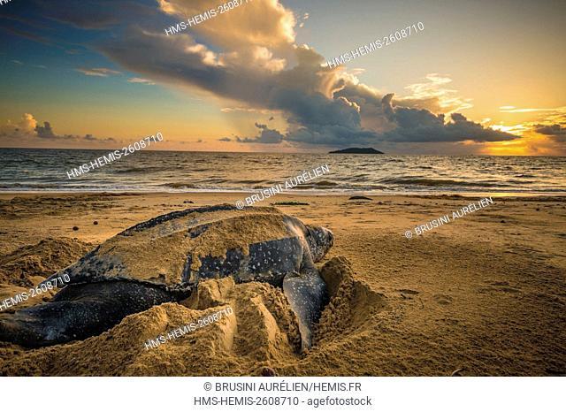 France, Guiana, Cayenne, Gosselin beach, female leatherback turtle (Dermochelys coriacea) nesting in the morning