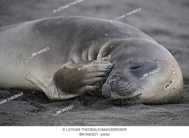 Southern Elephant Seal (Mirounga leonina), St. Andrews Bay, South Georgia