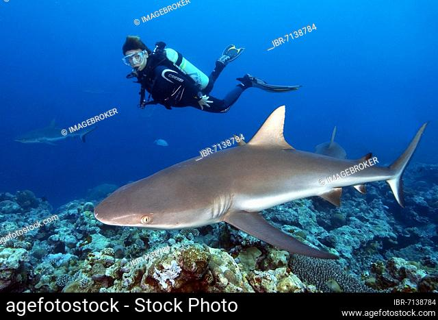 Diver looking at grey reef shark (Carcharhinus amblyrhynchos), Pacific Ocean, Yap, Federated States of Micronesia