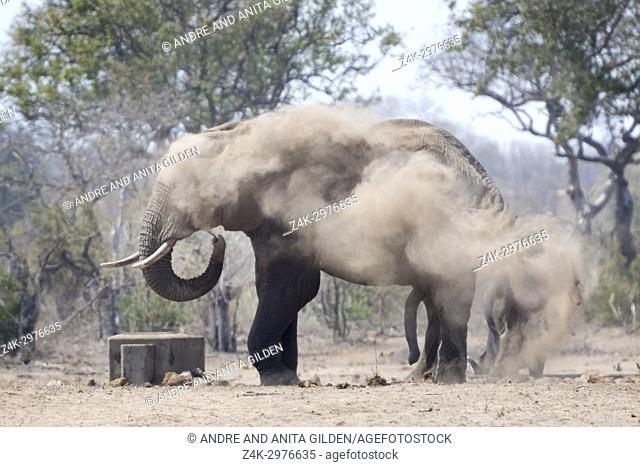 African Elephant (Loxodonta africana) bull, taking dust bath, Kruger national park, South Africa