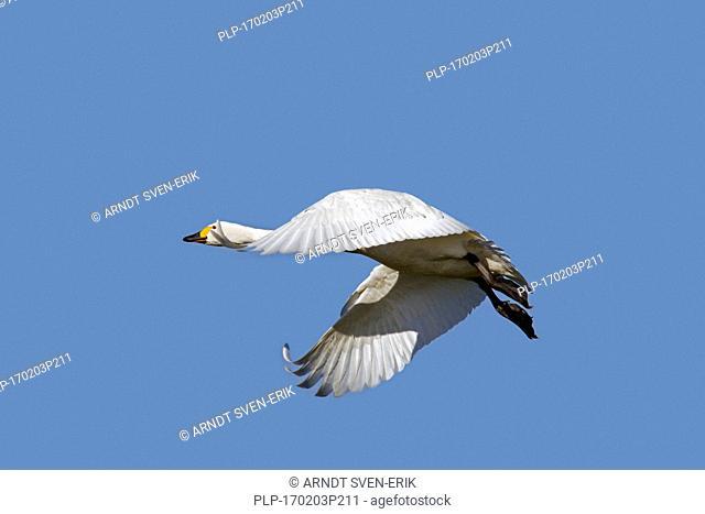 Tundra swan (Cygnus columbianus) / Bewick's swan (Cygnus bewickii) in flight against blue sky