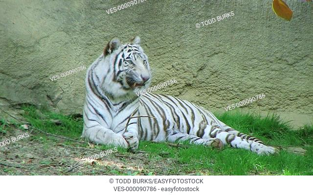 White tiger with something stuck in his teeth