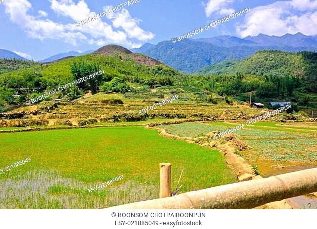 Young rice field in Sapa, Vietnam