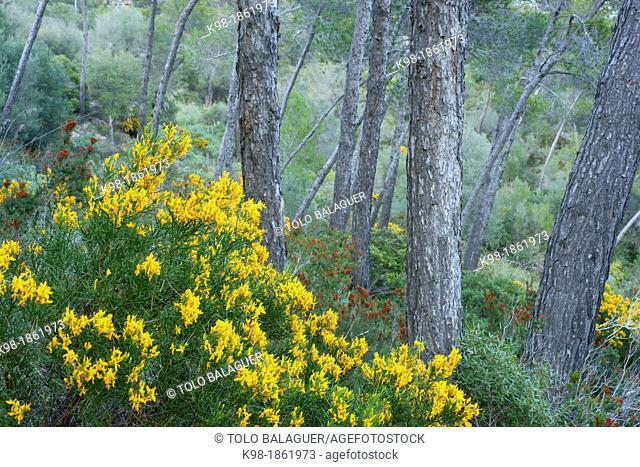 Genista lucida, pine forest of Puig de Cura Migjorn Mallorca Balearic Islands Spain