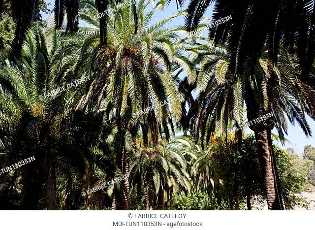 Tunisia - Carthage - Thermal baths of Antonin - Palm trees