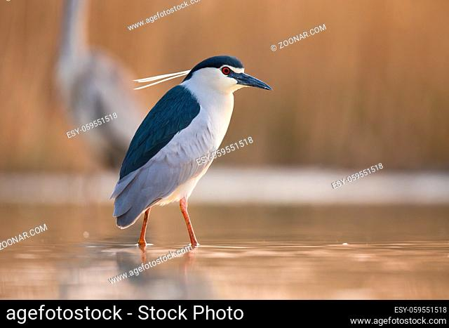 Black-crowned night heron, nycticorax nycticorax, looking in water in spring. Small white bird standing in river. Wild feathered animal wauting in swamp