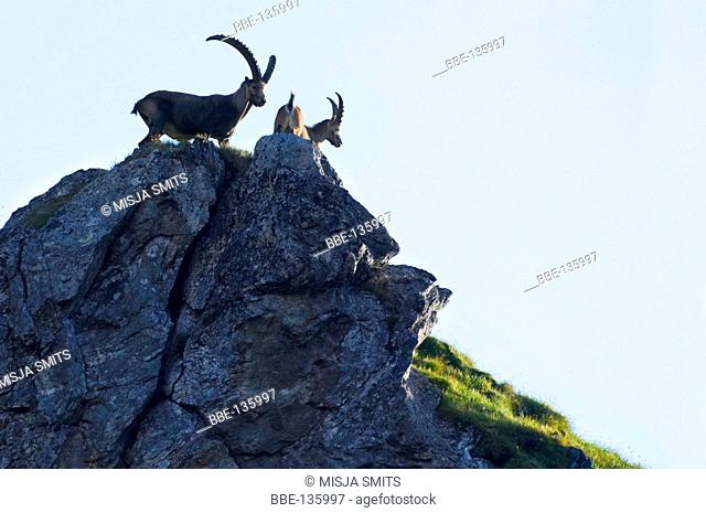Alpine Ibex is standing on a rock