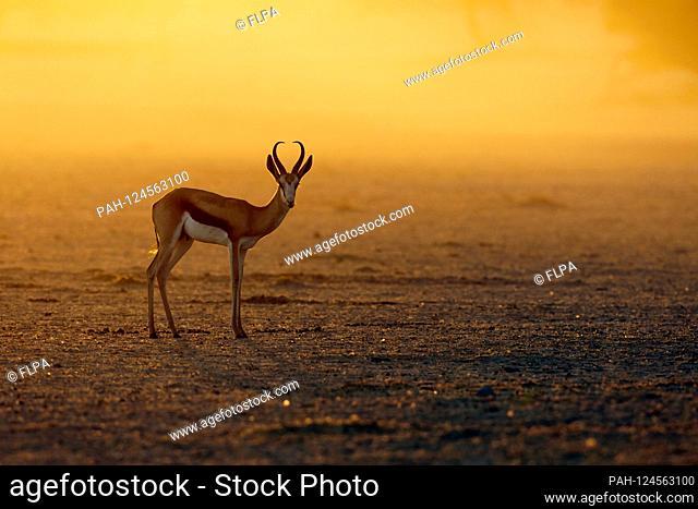 Springbock (Antidorcas marsupialis) adultes Männchen, steht in staubigem Morgenlicht, Kalahari Gemsbok Nationalpark, Kgalagadi Transfrontier Park, Northern Cape