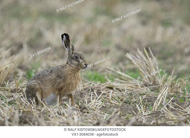 Brown Hare / European Hare ( Lepus europaeus ), attentive adult, sitting on a stubble field, wildlife, Europe