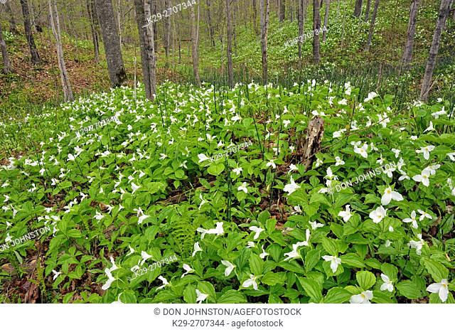 Flowering trilliums in a deciduous woodland, M'chigeeng First Nation, Manitoulin Island, Ontario, Canada