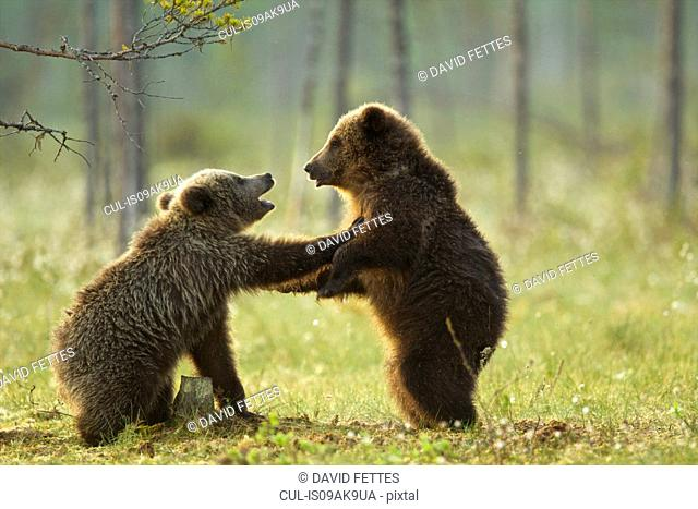 Two brown bear cubs play fighting (Ursus arctos) in Taiga Forest, Finland