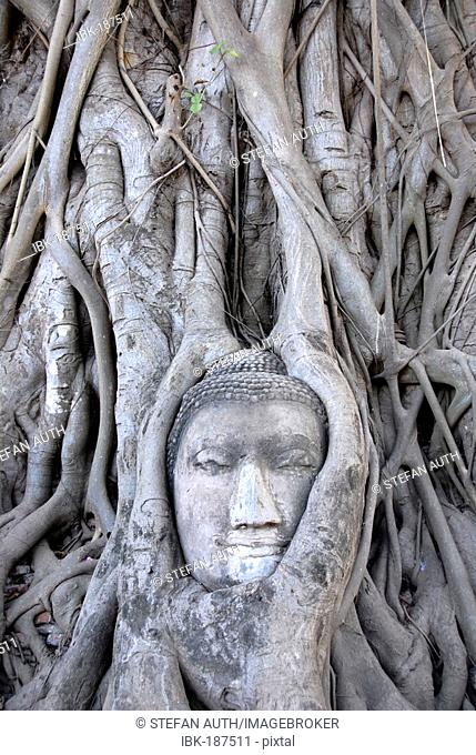 Buddha head entwined by the root system of a fig tree Ficus religiosa Wat Mahathat Ayutthaya Thailand