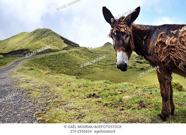 Donkey on Pico Island in Azores, Portugal