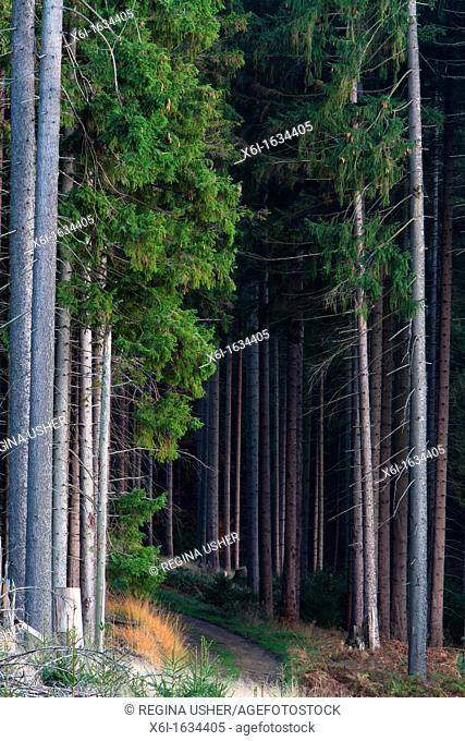 Norway Spruce Picea abies, Trees in Monoculture Forestry, Lower Saxony, Germany
