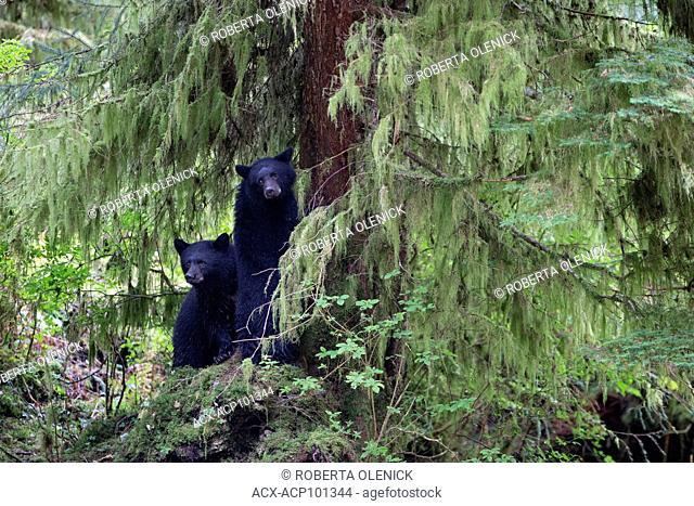 Black spirit bear (Ursus americanus kermodei), cubs in red cedar (Thuja plicata), sent up tree by female as large male approaches, Great Bear Rainforest