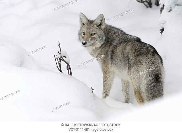 Coyote / Kojote ( Canis latrans ) in winter, stands in deep snow, watching back, looks surprised, backside view, Yellowstone NP, Wyoming, USA.