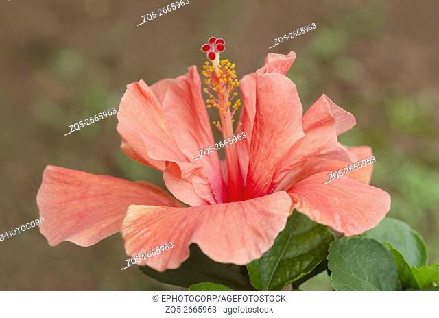 Flower of Hibiscus, mallow flower family, Malvaceae. Orange color, near Ratnagiri, Maharashtra, India