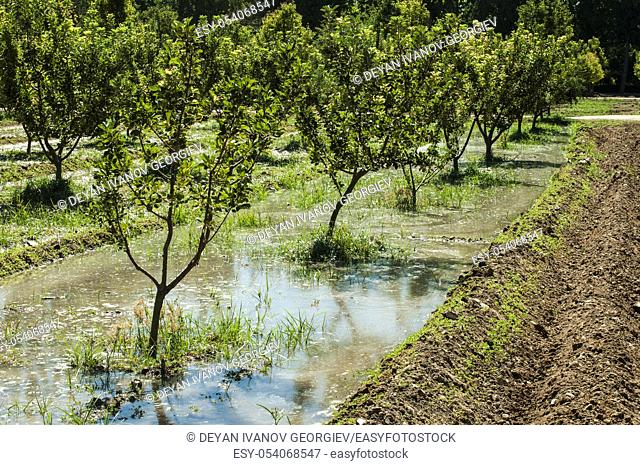 Watering orchard. Water channels