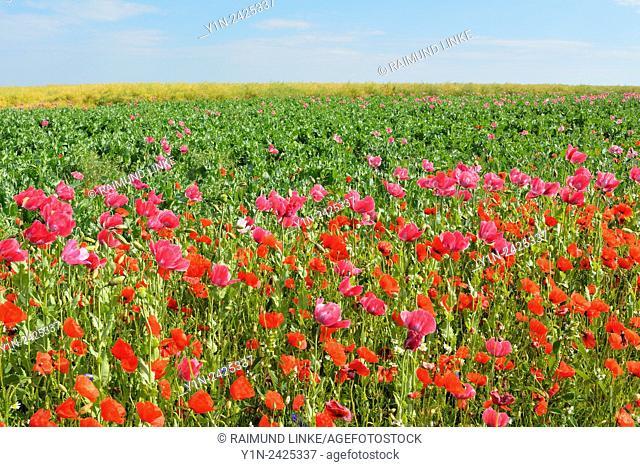 Opium Poppy, Papaver somniferum, and Corn Poppy, Papaver rhoeas, Field, Summer, Germerode, Hoher Meissner, Werra Meissner District, Hesse, Germany