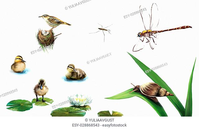 Little ducklings on the water, pond skater, water lily flower, dragonfly, snail on the leaf, bird on the nest. Isolated realistic illustration on white...