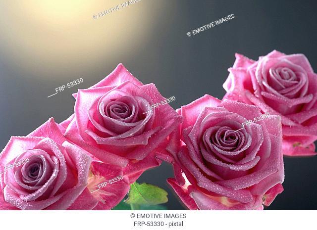 Purple rose blossom