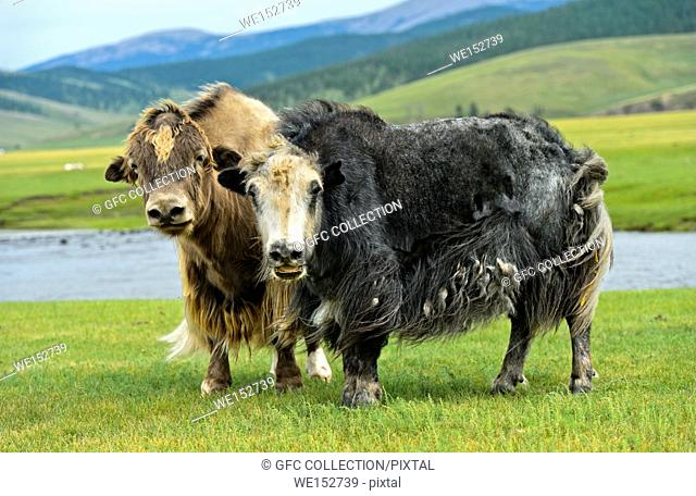Two Yaks (Bos mutus) with long shaggy hair, Orkhon Valley, Khangai Nuruu National Park, Oevoerkhangai Aimag, Mongolia