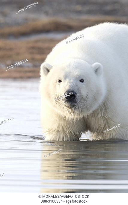 United States, Alaska, Arctic National Wildlife Refuge, Kaktovik, Polar Bear( Ursus maritimus ), one cub along a barrier island outside Kaktovik, Alaska