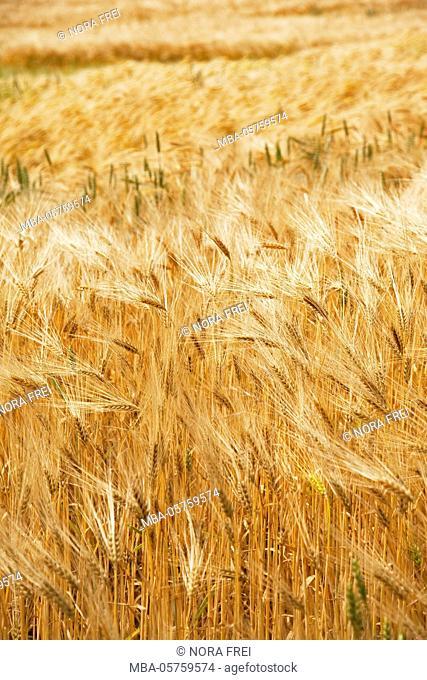 Grain, barley, grain field, summer