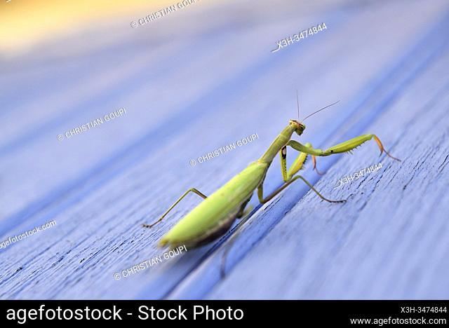 praying mantis (Mantis religiosa) on a blue background, France, Europe
