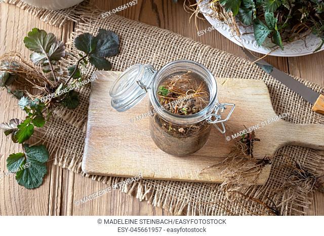 Preparation of Herb Bennet tincture from fresh Geum urbanum roots