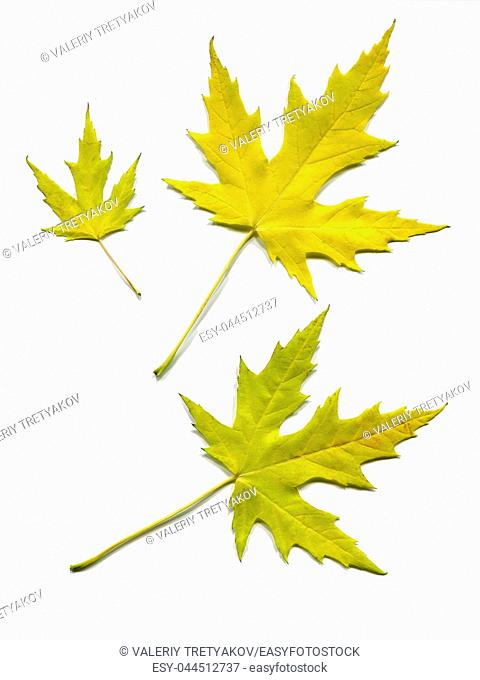 Maple colorful autumn leafs isolated on white background