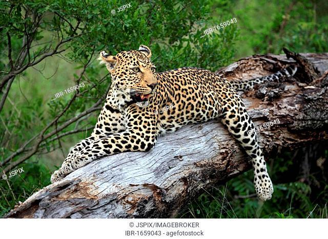Leopard (Panthera pardus), adult resting on tree, Sabisabi Private Game Reserve, Kruger National Park, South Africa, Africa
