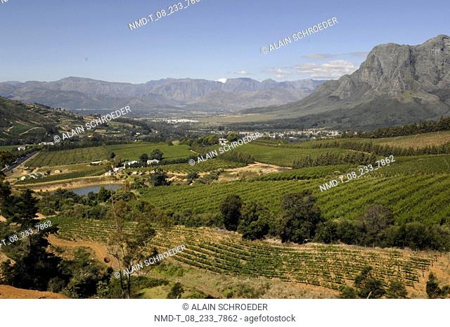 High angle view of a vineyard, Delaire Wine Estate And Vineyard, Western Cape Province, South Africa