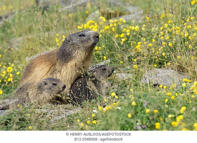 Alpine Marmot, adult and youngs (Marmota marmota), France